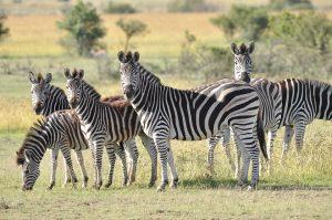 zebre-afrique
